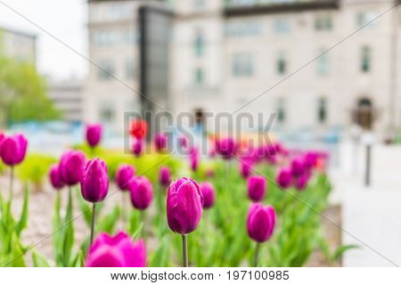 Quebec City, Canada - May 29, 2017: Macro Closeup Of Purple Tulips In Old Town With Hotel De Ville C
