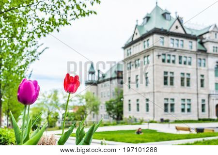 Quebec City, Canada - May 29, 2017: Macro Closeup Of Purple And Red Tulips In Old Town With Hotel De