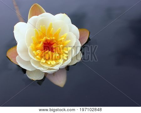 A flower of a white water lily with delicate petals leaves on the surface of a calm dark forest lake