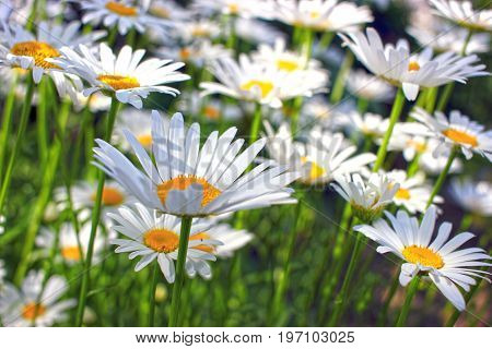 Blooming chamomile, close-up of a slightly blurred background, color  white