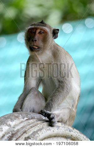A Macaque resting on a temple, waiting for a handout for breakfast.
