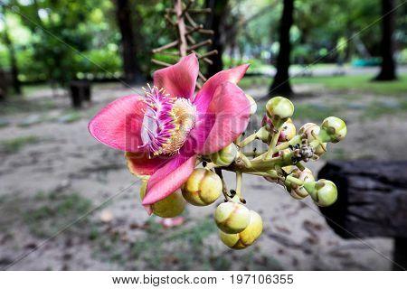 sal tree cannonball flower beautiful background nature beauty