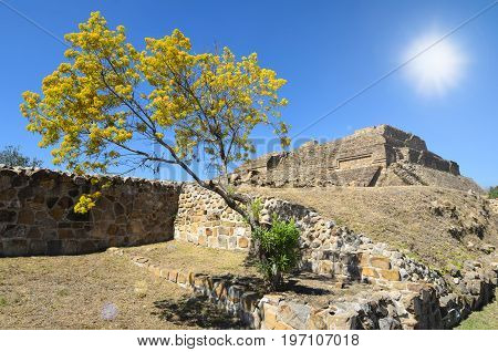 Primavera blooming tree in front of ruins of ancient Mayan pyramid