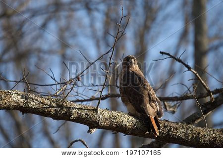 Red Tailed Hawk bird of prey also known as chickenhawk in the wild perched for hunting.