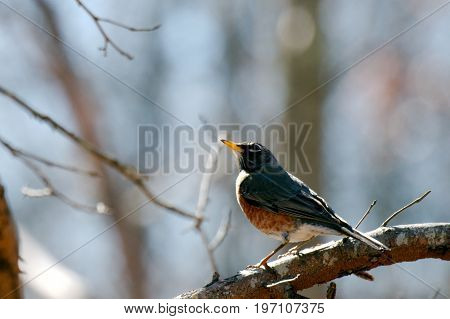 American Robin perched on branch curiously looks on for insects to feed on.