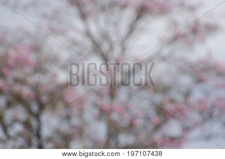 Blurred blooming Tabebuia rosea tree - natural background