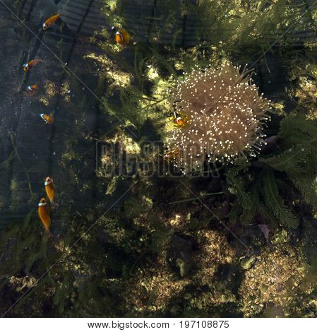 Little clownfish among corals - natural background