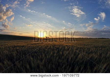 the juicy wheat field in bright sunlight