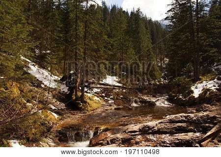 A coniferous forest in polish tatra comprised of evergreen spruces in the middle flows a stream some snow lies on the sides