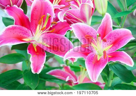 beautiful lilies blooming in spring garden for design