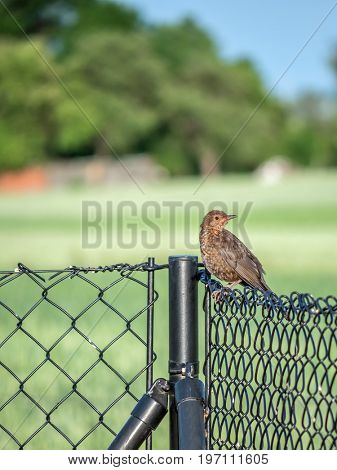 Female blackbird sitting on a metal fence