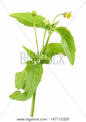 Galinsoga or potato weed (Galinsoga parviflora) isolated on white background. Medicinal plant