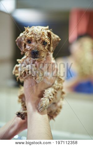 Cute brown puppy in girl hands take shower