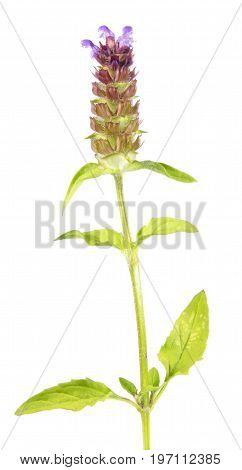 Common self-heal or brownwort (Prunella vulgaris) isolated on white background. Medicinal plant