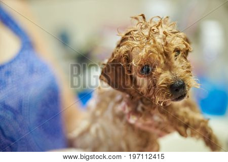Funny wet poodle puppy dog close-up. Dog groomer service theme