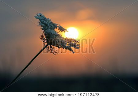 silhouette plants flower against the setting sun