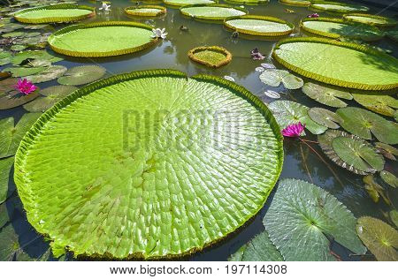Close up Victoria amazonica in the pond with giant green leaves cover the pond surface to create a beautiful landscape in nature