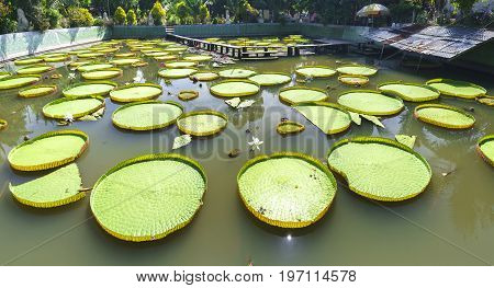Victoria amazonica in the pond with giant green leaves cover the pond surface to create a beautiful landscape in nature