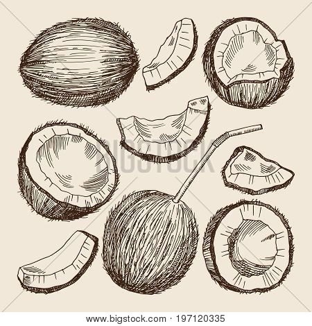 Hand drawing illustrations of different sides of coconut. Vector pictures isolate. Coconut food hand drawing style, tropical nature fresh andf exotic food