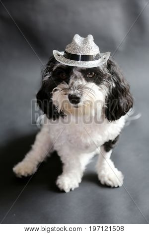 Black and White Havanese Dog wearing a hat sitting on a black seamless background.