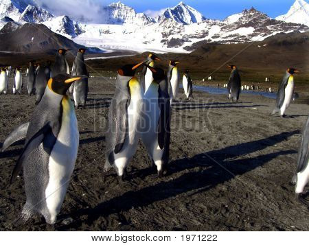 King Penguins On South Georgia Island Antarctica poster