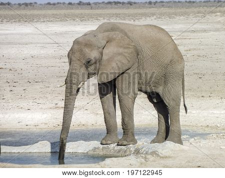 sunny arid savannah scenery including a african bush elephant drinking at a water hole seen in Namibia