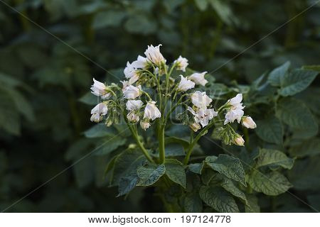 white potato blossom and green leaves close up