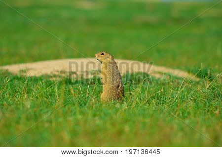 Alerted Squirrel . Ground Squirrel Alert And Watching Around. Cute Mammal