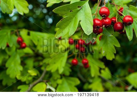 ash berry with leafs background and texture for graphic design.