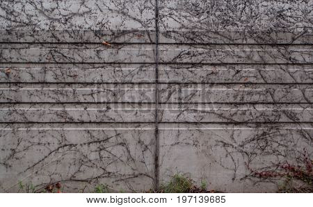 Vine growing on a concrete wall background and texture for graphic design.