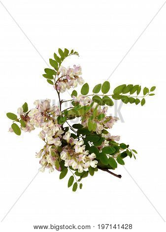 Branch of a blooming robynia dubious (Robinia x ambigua), isolated on a white background