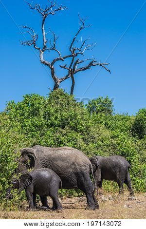 Family of African elephants at the watering in Okavango Delta. Botswana, Chobe National Park. The concept of exotic tourism