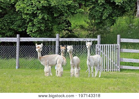 Group of four shorn white Alpacas standing and looking on a green meadow in Finland.