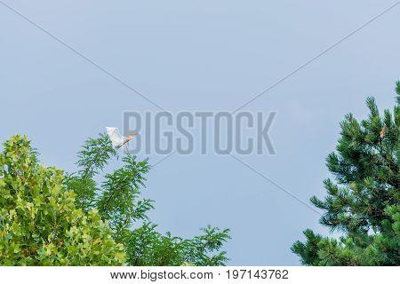 Egret Flying From Top Of Oak Tree