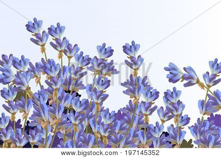 Lavender on white background Vector detailed realistic flowers