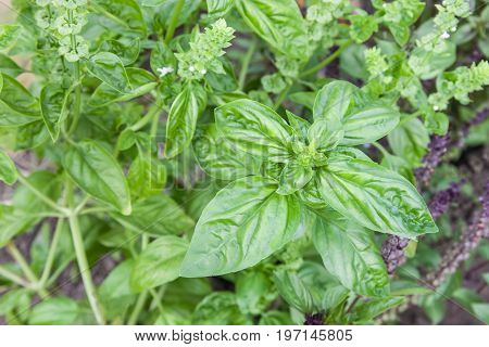 Flowers blooming green basil outdoors close-up natural background