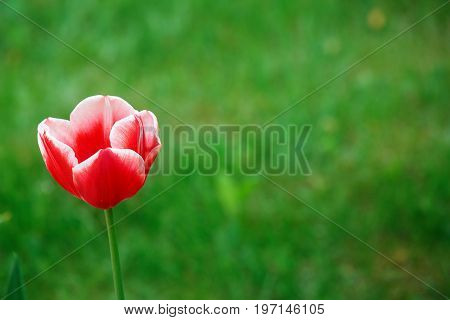 Colorful natural texture. Single Tulip on a green blurred background. Red Tulip has a white border. Summer background with stains and refelctions.