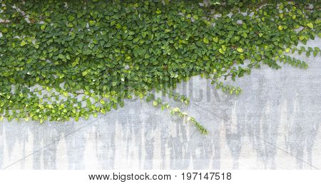 The Green Creeper