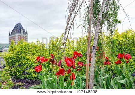 Quebec City, Canada - May 30, 2017: Red Wilted Tulips In Park Garden With View Of Chateau Frontenac