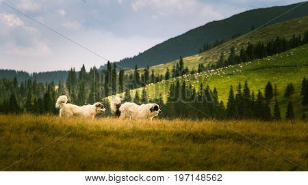 Portrait Of A Shepherd Dog In A Carpathian Landscape
