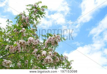 Beautiful flowers of pink acacia -  robynia dubious (Robinia x ambigua) against bright blue summer cloudy sky