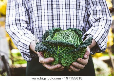 Organic vegetables. Farmers hands with kale. Fresh organic kale.