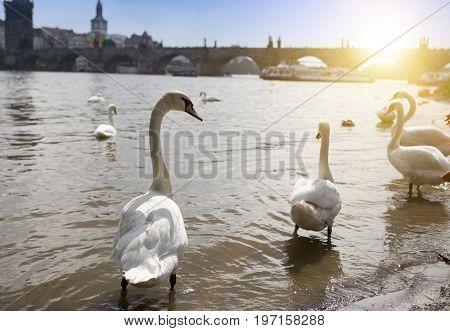 Prague. Swans on the Vltava River and Charles Bridge on a background