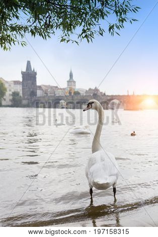 Prague. Swans on the Vltava River and Charles Bridge on a background