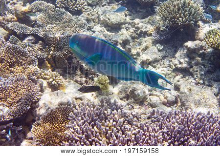 parrotfish (scarus ) over a coral reef the Indian Ocean