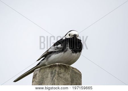 Close up of a single Pied Wagtail (Motacilla alba) perched on a post viewed from below