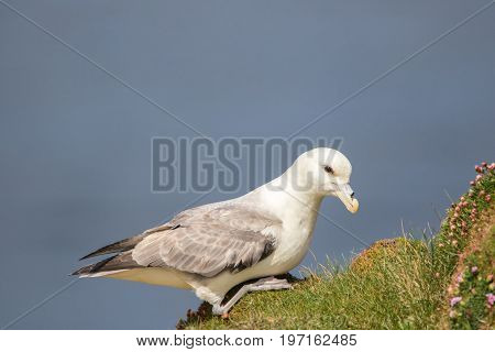 Fulmar (Fulmarus glacialis) sat on grassy on a cliff edge with thrift