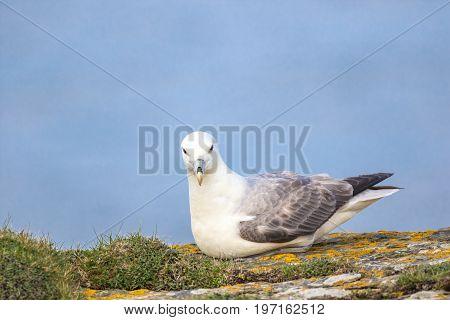 Fulmar (Fulmarus glacialis) sat on a cliff edge looking into camera