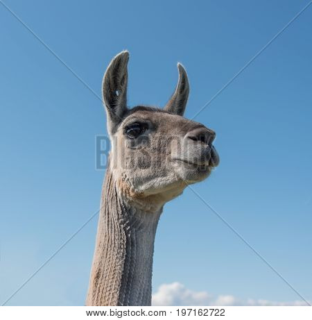 Low angled view of a Llama head and neck