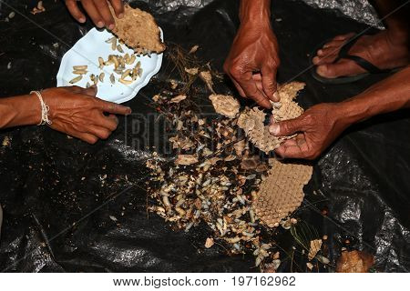 Local people find the wasp nest and larva for cooking in the night.